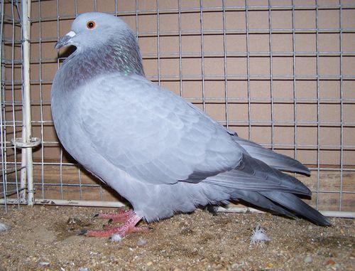 Petit Gibier - Les différentes espèces de colombidés en Europe Pigeon_bleu_de_gasc