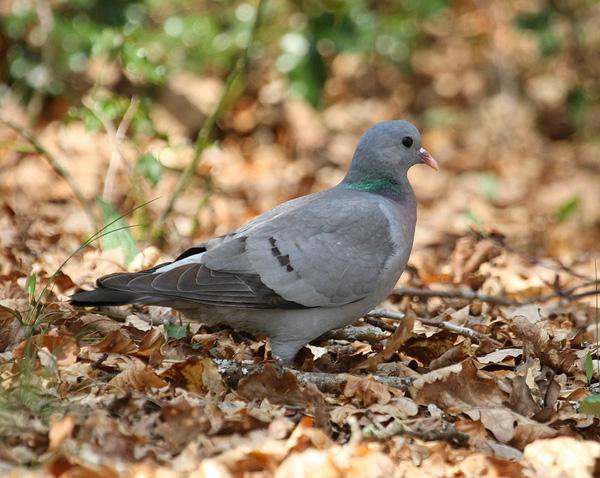 Petit Gibier - Les différentes espèces de colombidés en Europe Pigeon_colombin