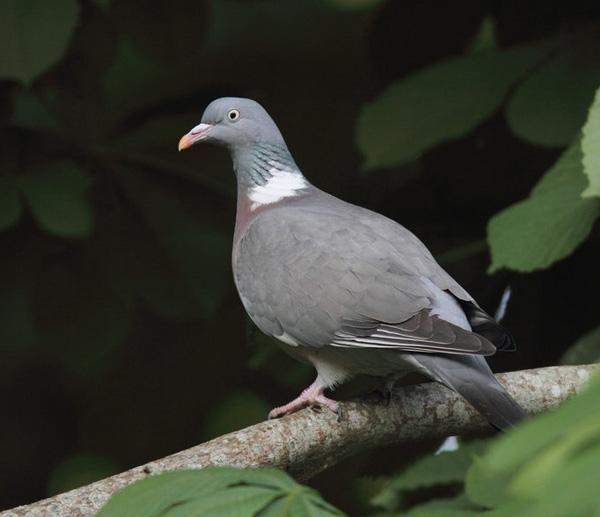 Petit Gibier - Les différentes espèces de colombidés en Europe Pigeon_ramier